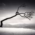 Kussharo Lake Tree, Study 16, Kotan, Hokkaido Japan. 2009